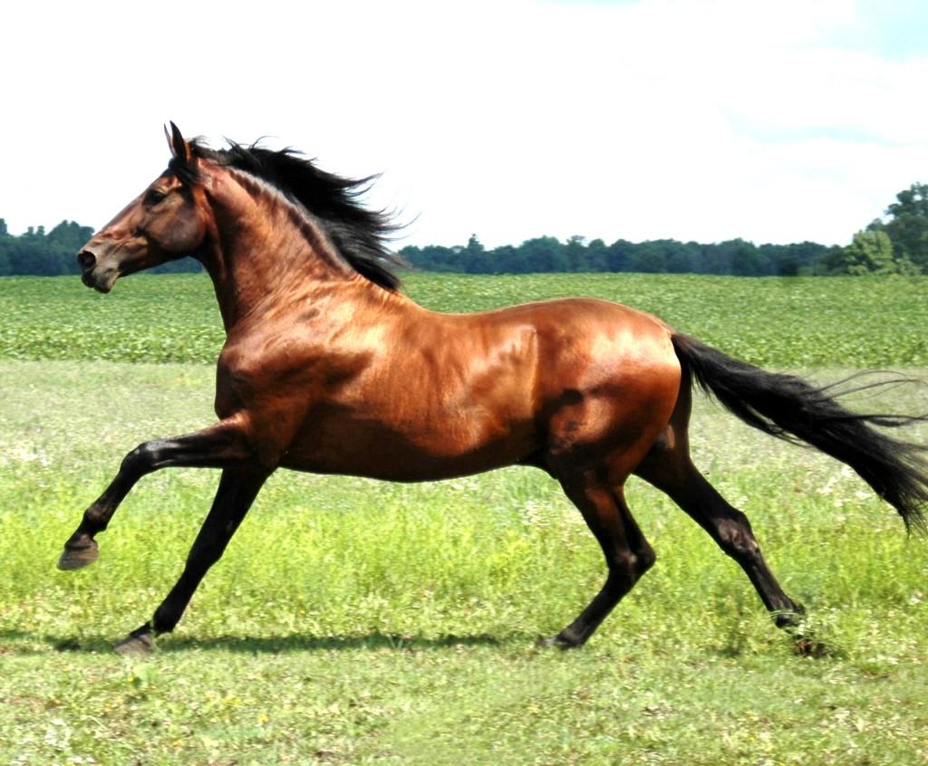 Fotos dos cavalos arabes 42