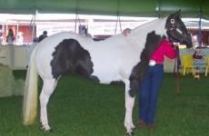 Серо-пегая масть лошадей