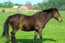 Лошади породы вьетнамский хмонг