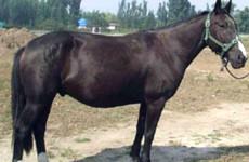 Порода пони китайская гуоксия