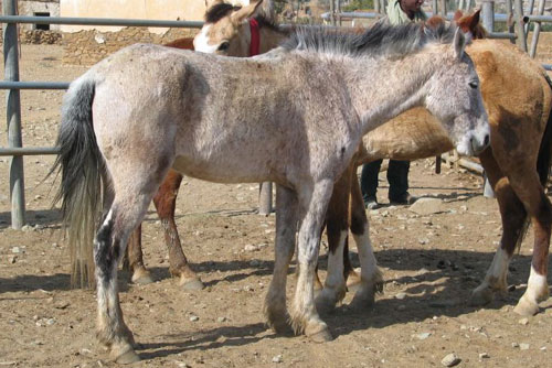 Абиссинский жеребенок, фото