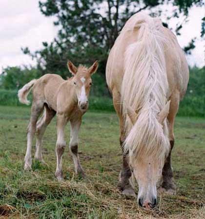 Австралийская пастушья лошадь с жеребенком, фото