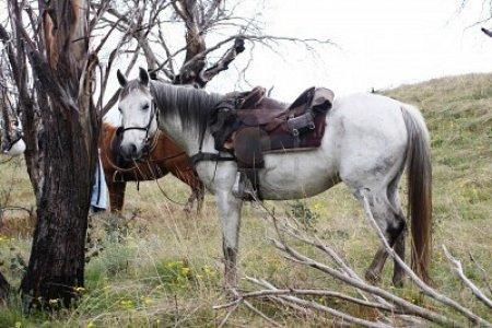 Австралийская пастушья лошадь с седлом, фото