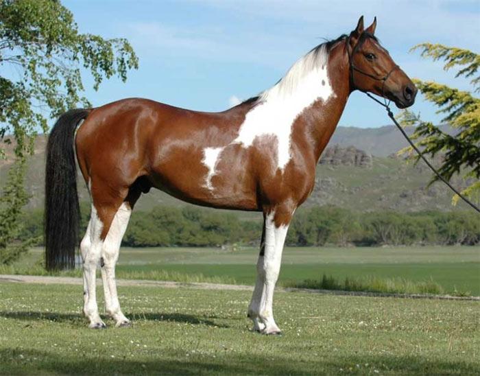 Австралийская пастушья лошадь, фото