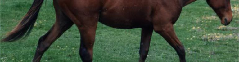 Австралийская пастушья лошадь