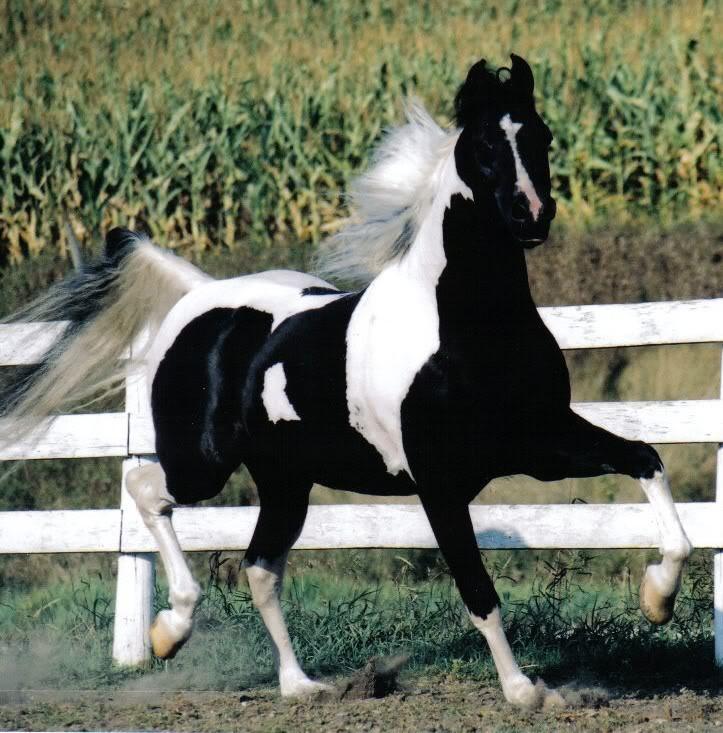 Американская верховая лошадь на ходу, фото