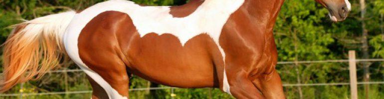 Американская верховая лошадь (сэдлбред)