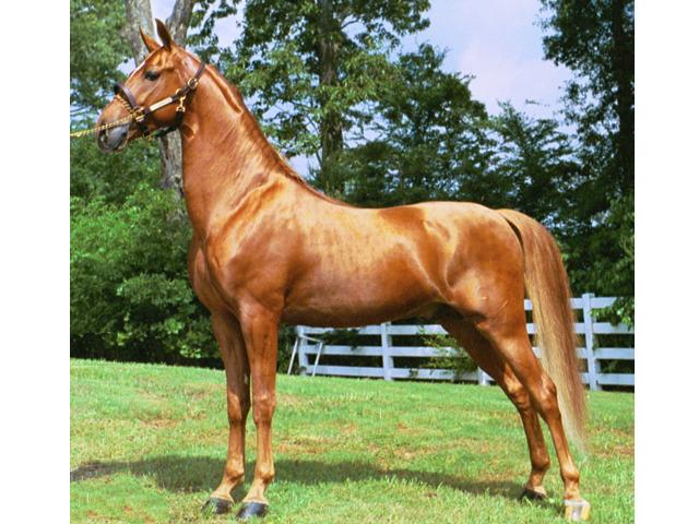 Американская верховая лошадь (сэдлбред), фото
