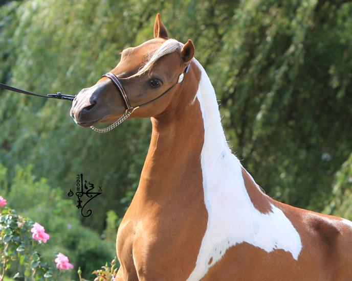 Американская верховая лошадь, фото