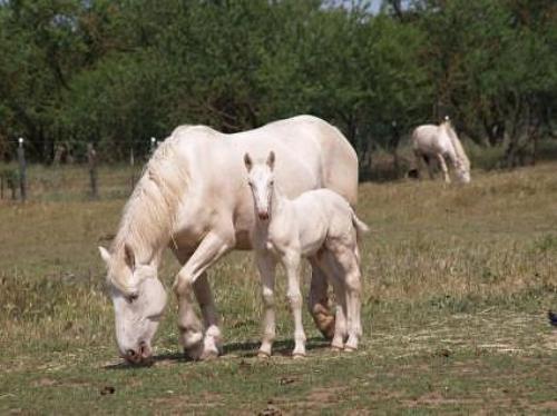 Американская кремовая порода лошадей с жеребенком, фото