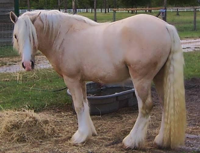 Американская кремовая порода лошадей, фото