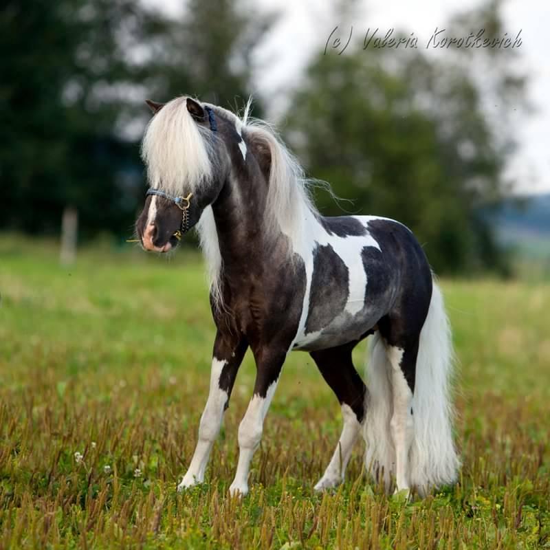 Американская миниарюрная лошадь  на лугу, фото