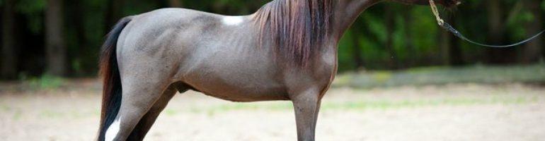 Американская миниатюрная порода лошадей