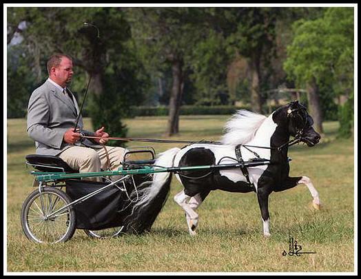 Американская миниатюрная порода лошадей в упряжи, фото