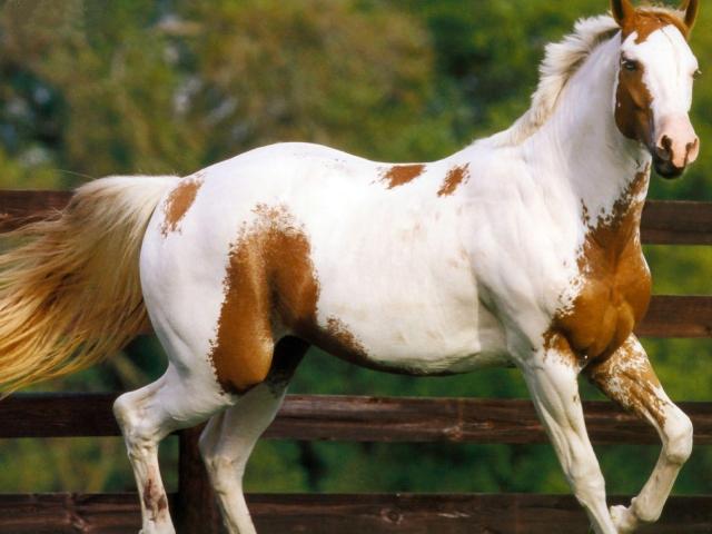 Американский квартер (четырехмильная лошадь) – верховая, фото
