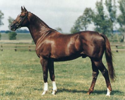 Англо-арабская лошадь, фото