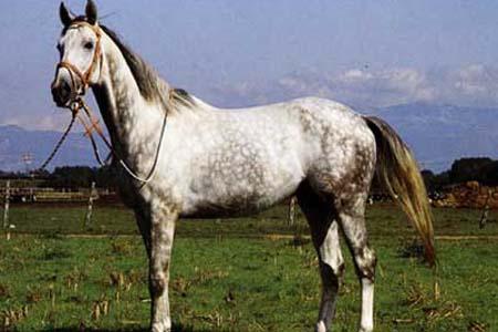 Англо-арабская серая лошадь, фото