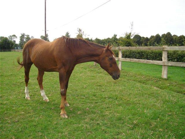 Англо-нормадская порода лошади, фото