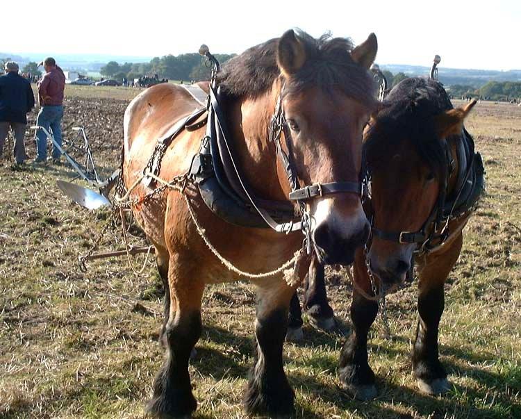 Арденнская тяжеловозная лошадь в упряжке, фото