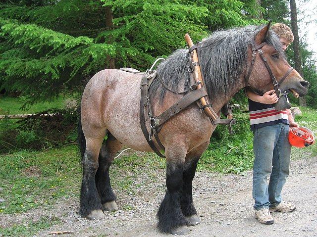 Арденнская тяжеловозная лошадь около елочек, фото