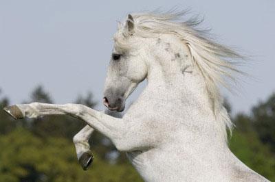 Белая лошадь породы Альтер-реал, фото