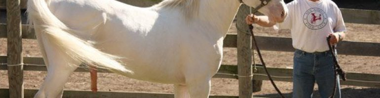Лошадь Американский альбинос