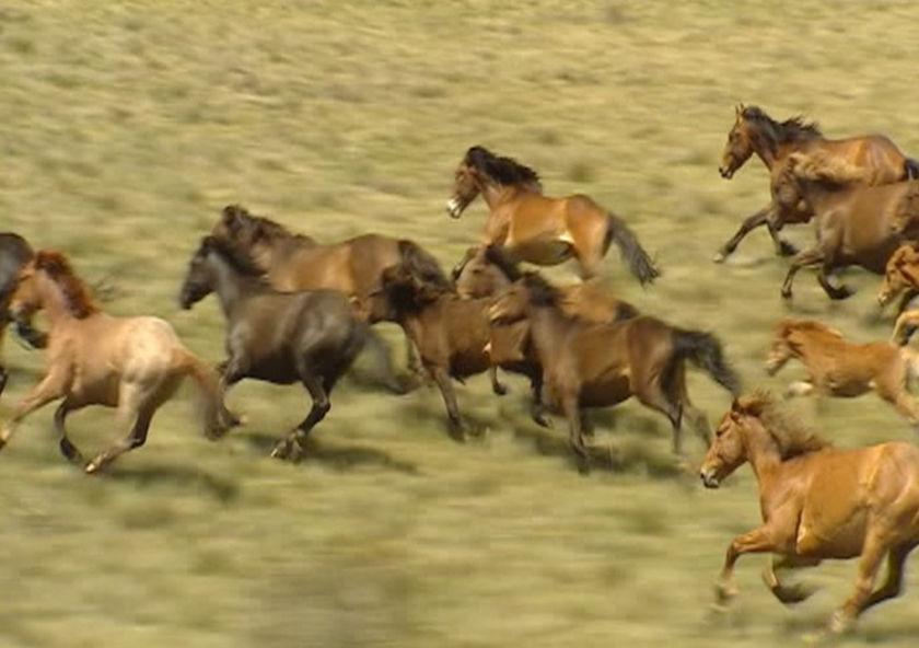 Брамби - дикие лошади Австралии, фото