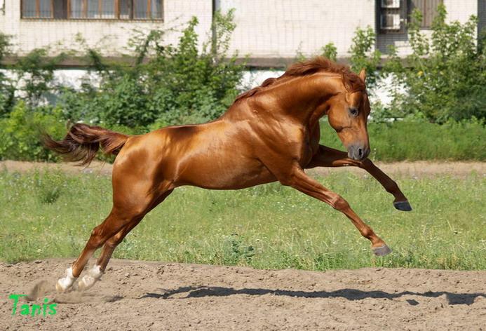 Буденновская лошадь в прыжке, фото