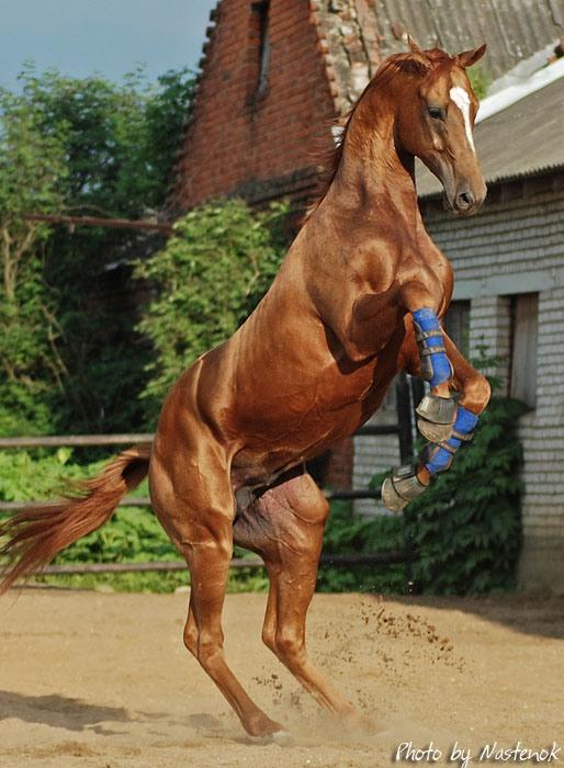 Буденновская лошадь