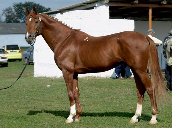 Буденновская лошадь характеристики и особенности породы