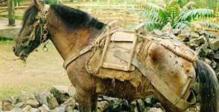 Вьетнамский хмонг в упряжи, фото