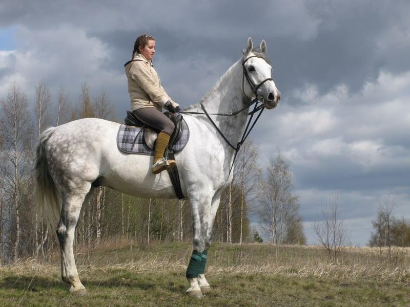 Голландская теплокровная лошадь с наездницей, фото
