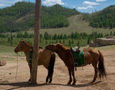 Монгольская лошадь