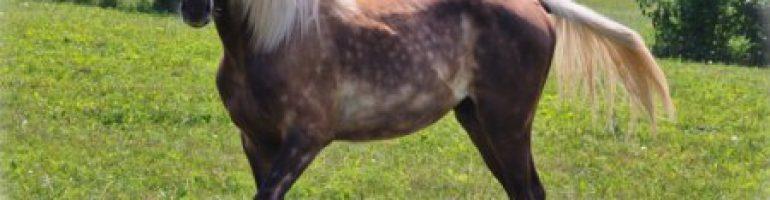Лошадь скалистых гор (Rocky Mountain Horse)