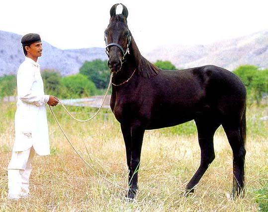 Индийская полукровная лошадь на родине, фото