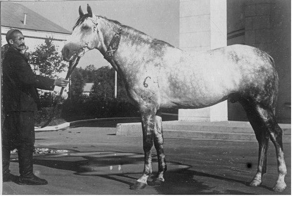 Иомудская лошадь, фото