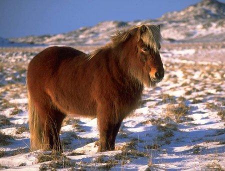 Исландская лошадь, фото