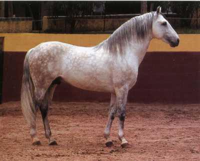 Испанская лошадь Иберийской породы, фото