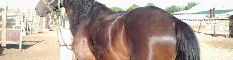 Казахская порода лошади