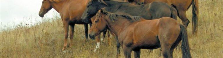 Карабахская порода лошади