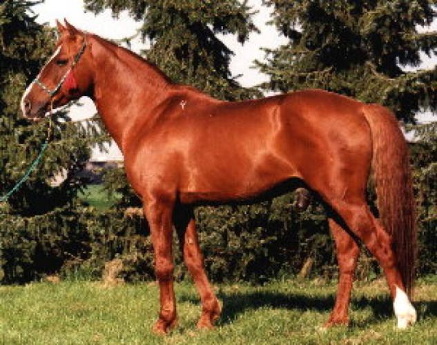 Карабахская лошадь, фото