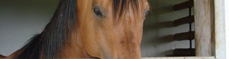 Квотерхорс (Четвертьмильная лошадь)