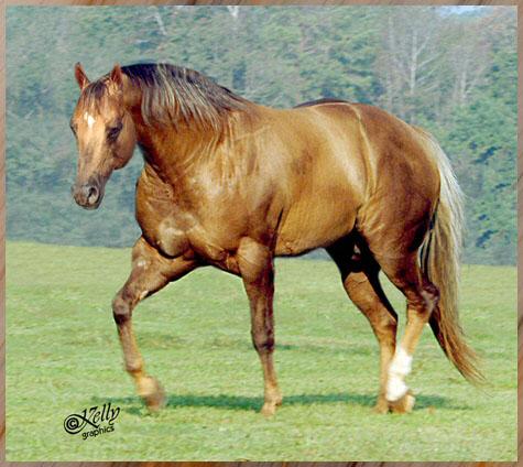 Квотерхорс (Четвертьмильная лошадь) на лугу, фото
