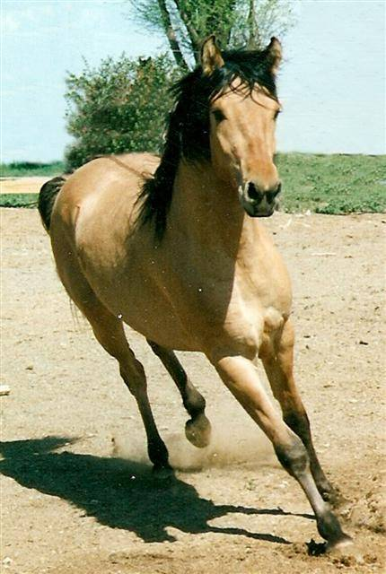 Кигер-мустанг во время бега, фото