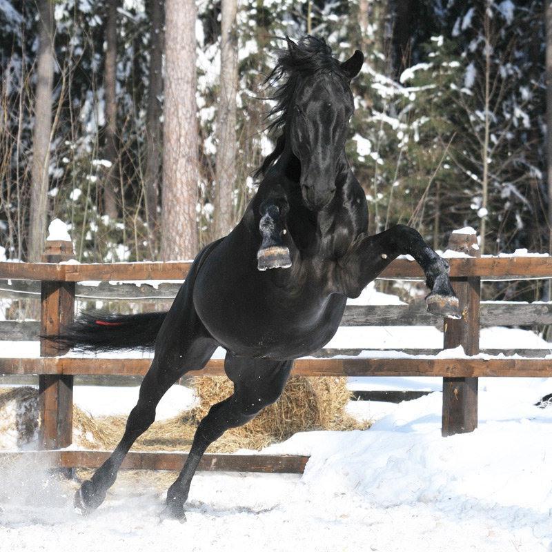 Кладрубская лошадь в прыжке, фото