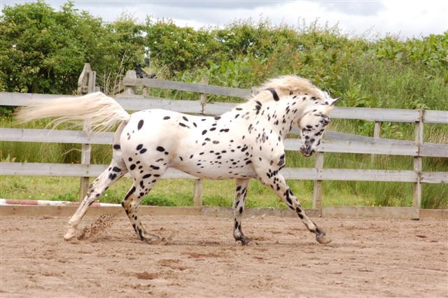 Кнабструбская лошадь, фото