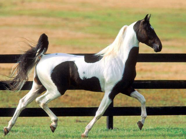 Красивая Американская верховая лошадь (сэдлбред), фото
