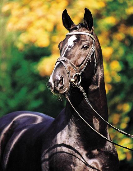 Красивая Индийская полукровная лошадь, фото