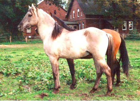 Красивая лошадь Иберийской породы, фото