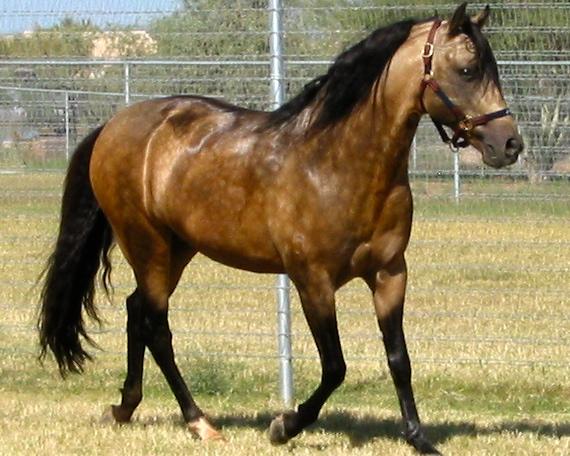 Красивая лошадь породы Мангаларга Маршадор, фото